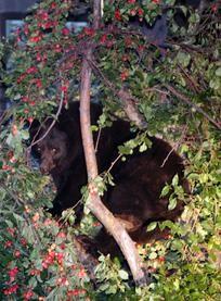 bear-aspen