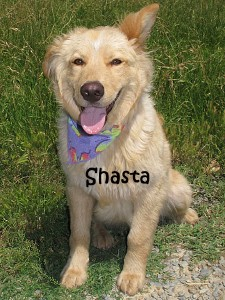 dog-shasta