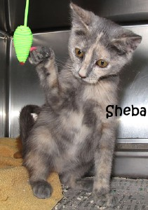 cat-sheba