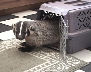 badgercage