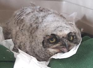 owlsingle