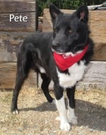 Pete Border Collie Mix up for Adoption