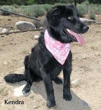Kendra Flatcoated Retriever