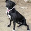 12-11-21 Black Lab mix adult female MARGO 1 ID12-11-004 - FACEBOOK