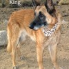 12-11-21 Belgian Malinois 10 yr neut male KING 1 ID12-11-019 - Stray 11-18 Tuttle Creek Campground FACEBOOK