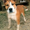 12-11-24 Pit Bull Akita mix tan & white unneut 3 yr DUKE 1 ID12-11-024  - OR 11-24 Hanna Moore & Christopher Cruz 210 Terrace BP 937-2689 FACEBOOK
