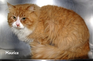 13-04-02 LH Oranage Tabby Tuxedo adult MAURICE 1 ID13-03-015 -  FACEBOOK 2