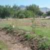The Big Pine Tribal Permaculture Demonstration Garden swale is planted with fruit trees, berries and shrubs which shall create an edible food forest in a couple of years.