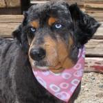 13-07-27 OCTOBER Aussie Rottweiler mix senior fem ID13-07-027 - COLOR NEWSPAPER