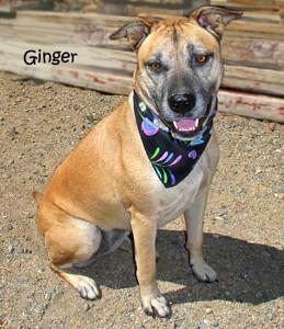 13-09-07 GINGER Shepherd Pit mix ID13-09-010 - KSRW