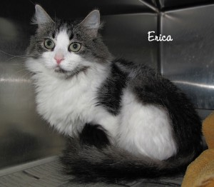 13-10-04 Gray & White unspayed fem ERICA 1 ID13-09-015 - Stray 9-13 Van Loon FACEBOOK