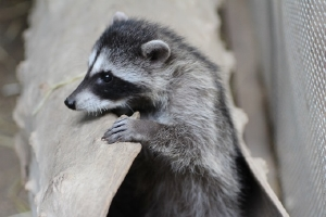 Orphaned raccoon, released along with 4 siblings. Photo by Peggy Hankins