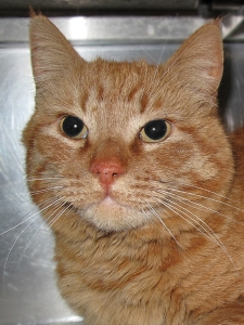 14-07-02 NORRIS Orange Tabby adult male ID14-04-020 - COLOR NEWSPAPER