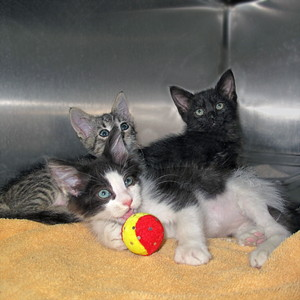 14-08-23 ZAYN, LIAM & LOUIS Two kittens 1 gray & 1 B&W ID14-07-039 from Matlick  & 1 black ID14-08-023 - COLOR NEWSPAPER