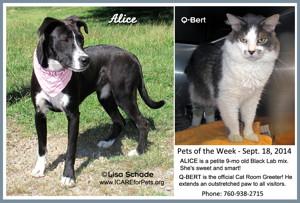 14-08-23 ALICE  Lab Pit mix fem 9 mo ID14-08-044  & Q-BERT gray & white neut male cat ID14-08-041 - FACEBOOK