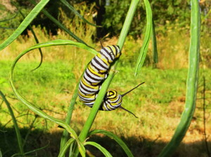 Monarch caterpillar waiting for butterfly transformation.  Photo by Andrew Kirk