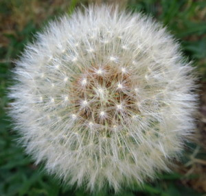 Dandelion gone to seed as a beautiful, fuzzy flower.  Photo by Andrew Kirk