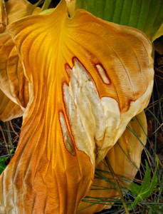 Hosta with the mosta!  Hosta plant fades into fall but with great beauty.  Photo by Andrew Kirk
