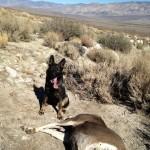 Tracking dog Sieger