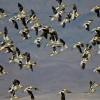 American Avocets - Owens Lake - by Gail Klett