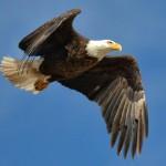 Bald Eagle Photos courtesy of Ron Oriti