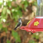 ESWC recently responded to three calls of hummingbirds trapped in buildings. Feeders placed closed to doorways can sometimes be responsible.