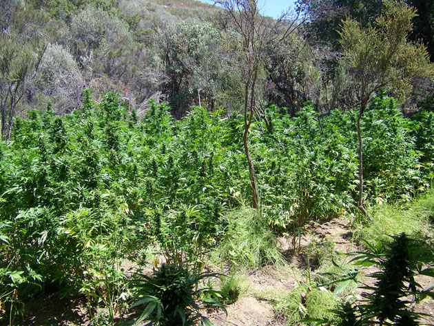 Marijuana eradication in mono inyo counties sierra wave for Weed plantation exterieur