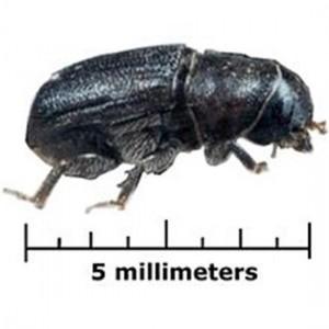 bark_beetle
