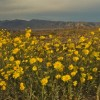 Desert Gold blooming in Death Valley   Photob by Stephen Ingram