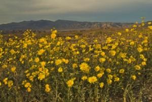 Desert Gold blooming in Death Valley Photob by Stephen Ingram